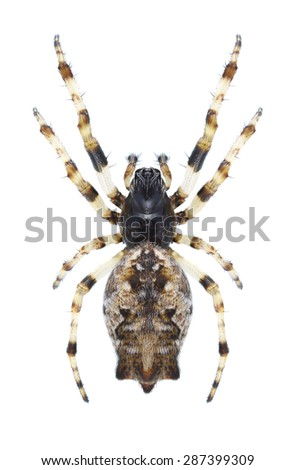 Spider Cyclosa oculata (female) on a white background - stock photo