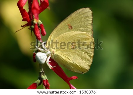 Spider Eating Butterfly - stock photo