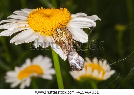 Spider eats its prey on flower- macro shot. - stock photo