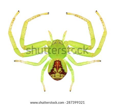 Spider Ebrechtella tricuspidata (female) on a white background - stock photo