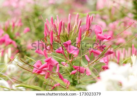 Spider flower - stock photo