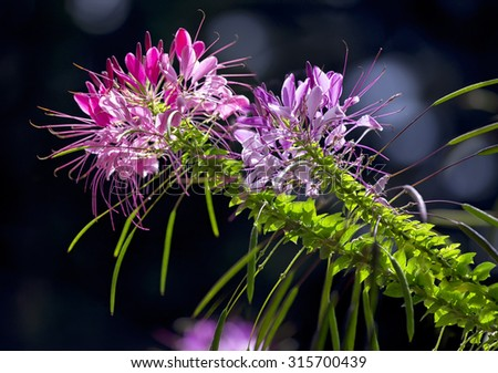 Spider flower with purple together two faithful glitter in the sun, beautiful as this flower Sightseeing - stock photo