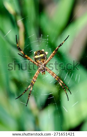 spider hanging on spider web in Brazil - stock photo