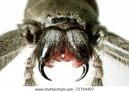 Spider, Huntsman, Holconia immanis, Large Australian spider with painful bite - stock photo