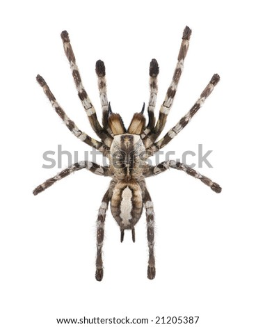Spider in front of a white background