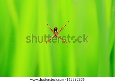 Spider in the green paddy fields background. - stock photo