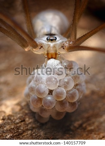 Spider is taking care of its eggs. - stock photo
