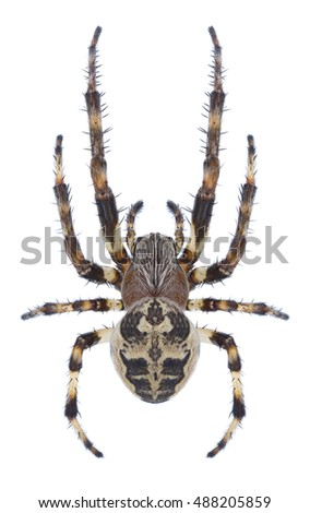 Spider Larinioides suspicax on a white background