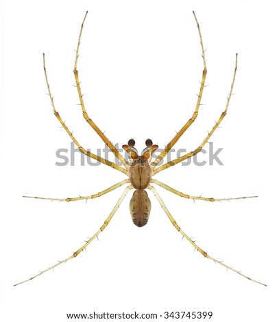 Spider Linyphia triangularis (male) on a white background - stock photo