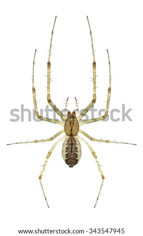 Spider Linyphia triangularis on a white background - stock photo