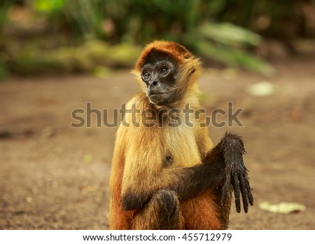 Spider monkey (Scientific name: Ateles)