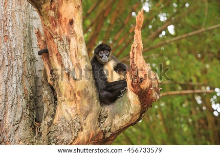 Spider monkey taking a little rest seating on a tree branch