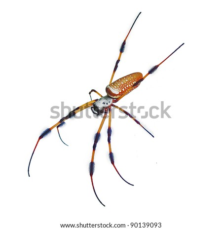 """Spider """"Nephila clavipes"""", more commonly known as golden orb-weaver, golden silk banana spider, giant wood spider, or writing spider isolated on white background. Closeup shot. - stock photo"""