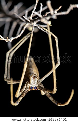 Spider, Net-casting, with focus on front facing eyes used for binocular vision  - stock photo