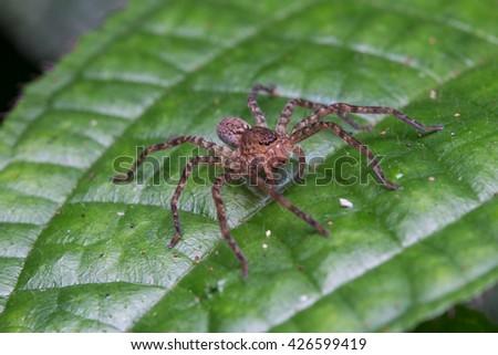 Spider of Borneo, Huntsman Spider - stock photo