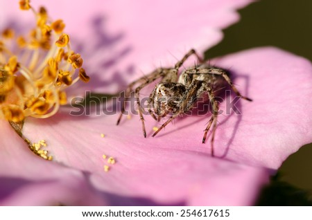 Spider on a pink flower wild rose macro - stock photo