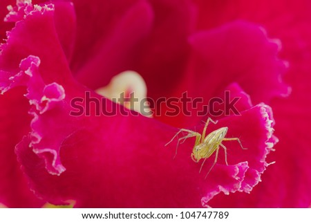 Spider on pink Corolla - stock photo