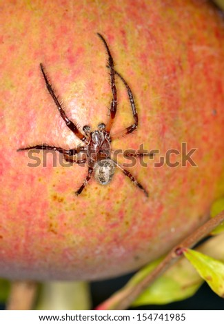 spider on the fruit pomegranate top view - stock photo