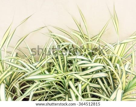 Spider Plant - stock photo