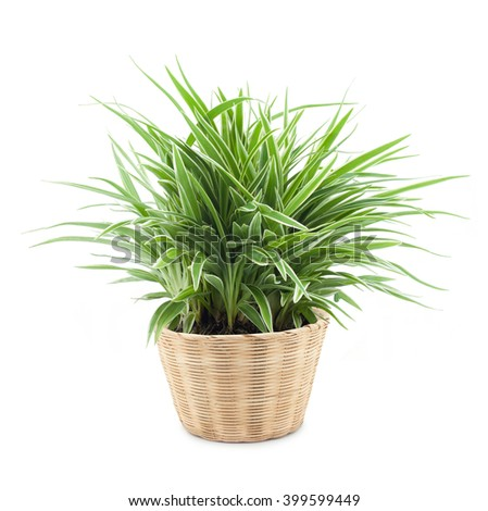 Spider plant in a bamboo pot