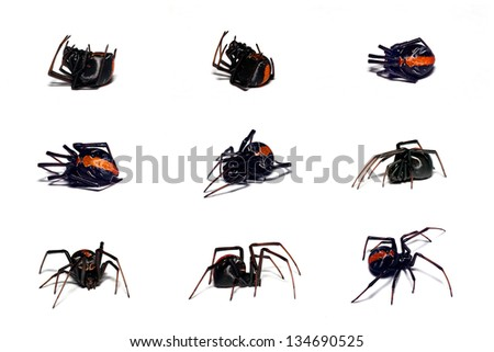 Spider, Red-back, feigning death defence behaviour - stock photo