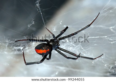 Spider, Red-back, Lacrodectus Hasselti, female Australian spider at rest on web - stock photo