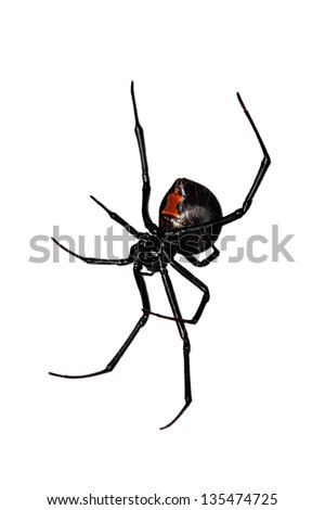 Spider, Red-back underside, characteristic red bottle shaped mark - stock photo