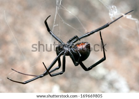 Spider, Redback or Black Widow, at rest on web in sandstone crevice - stock photo
