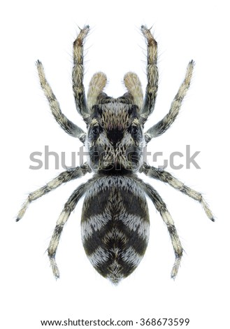 Spider Salticus scenicus on a white background - stock photo