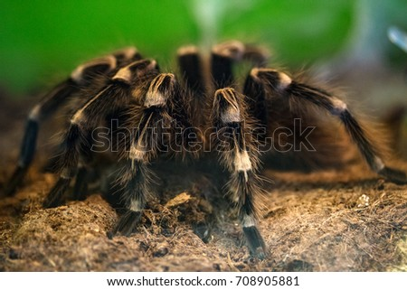 spider-tarantula sits on the ground