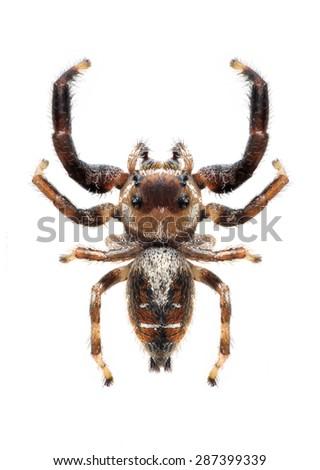 Spider Thyene imperialis (male) on a white background - stock photo
