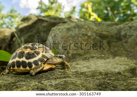 Spider Tortoise  - stock photo