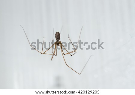 spider who lives in the house pholcus phalangioides - stock photo