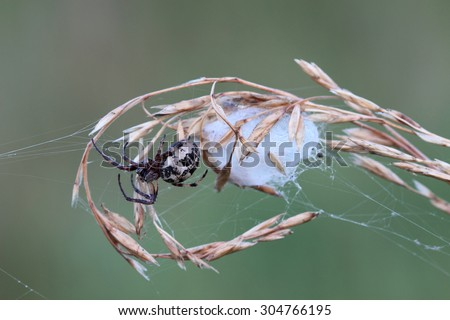 Spider with cocoon on dry grass. Macro - stock photo