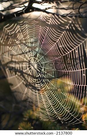 Spiderweb in tree on sunrise - stock photo