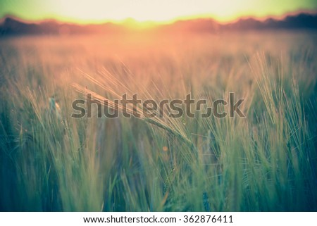 spike in wheat field at sunset, background blur filter - stock photo