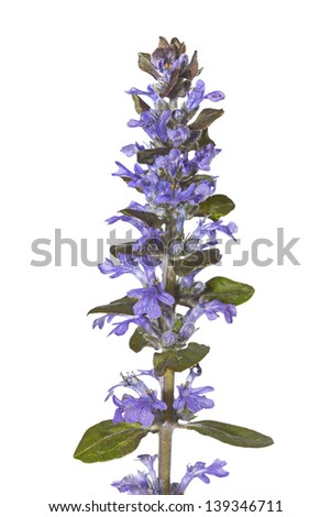 Spike of pretty blue bugle herb flowers, or Ajuga reptans, used in herbal medicine to stem bleeding isolated on white - stock photo