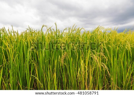 Spikelet of rice in the field