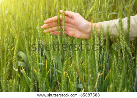 Spikelets and the woman palms. Element of design. - stock photo