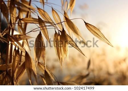 spikelets of oats , as  agricultural background - stock photo