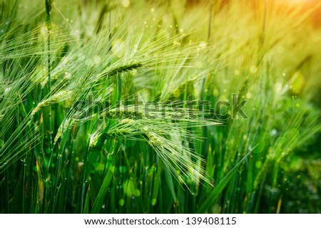 spikelets of oats in the field - stock photo