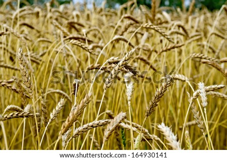 Spikelets of wheat against the background of a wheat field and trees - stock photo