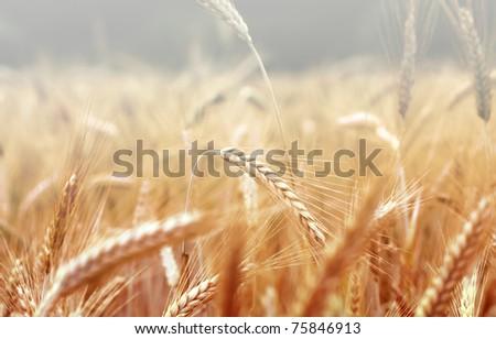 Spikelets of wheat, illuminated by bright sunshine. Wheat field - stock photo