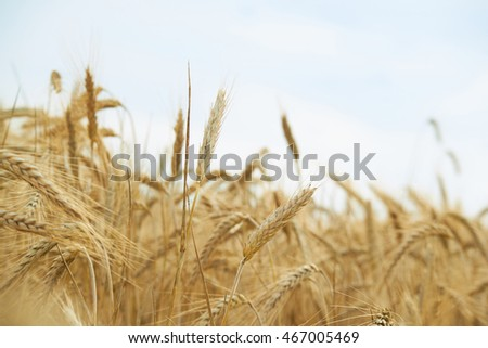 spikelets of wheat in summer