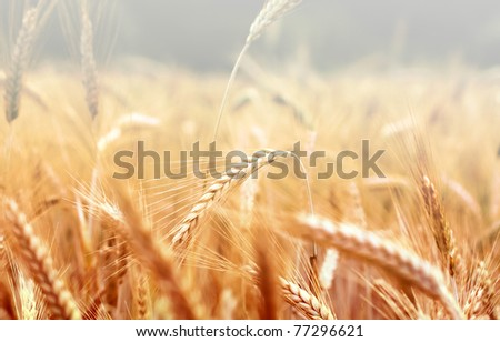 Spikelets of wheat in the sunlight. Wheat field - stock photo