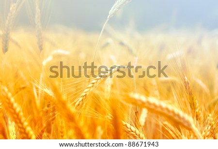 Spikelets of wheat in the sunlight. Yellow wheat field - stock photo