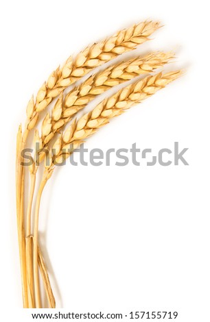 Spikelets of wheat. isolated on white background - stock photo