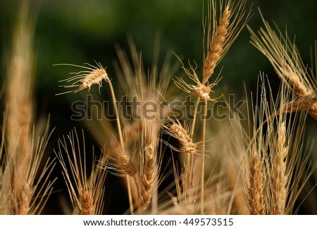 Spikes in wheat field