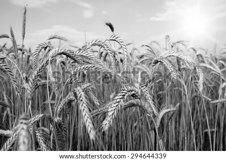 Spikes of ripe wheat on a farmers field. black and white photo. series of photos. - stock photo