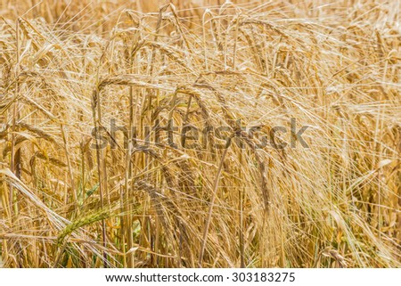 Spikes of ripening barley in the field closeup